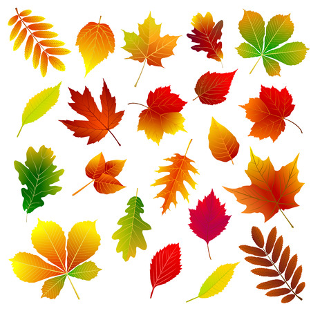 Set of different autumn leaves on a white background. Illustration