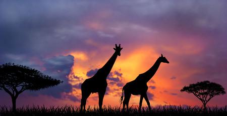 夕日に対して 2 つのキリンのシルエット。キリンと夕日。 写真素材