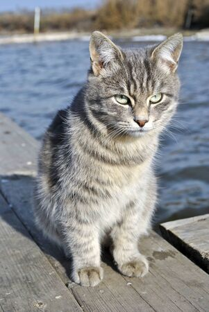 The gray cat on the background of the pond. The cat sits on a wooden pier on a background of water.