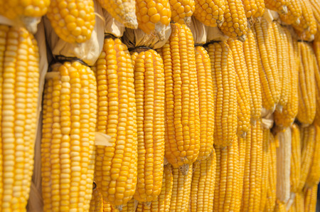 yellow corn: Yellow corn decorated for made yellow wall Stock Photo
