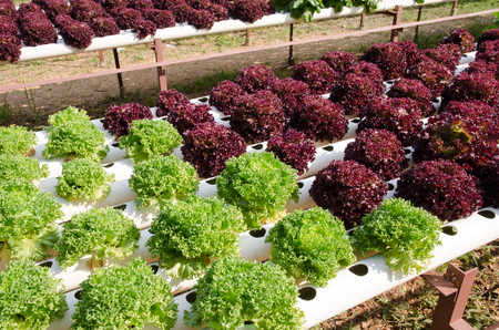 non  toxic: Hydroponic vegetables growing system. Growing plants without soil. Stock Photo
