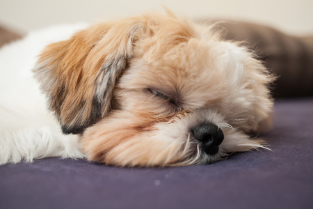 Sleeping Shih Tzu on a bed having sweet dreams