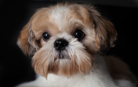 Studio shot of a female Shih Tzu in isolated black background Archivio Fotografico