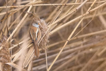 Close up image of bearded reedling female, an orange brown bird with gray face, yellow beak and long tail, holding on dry brown reeds.