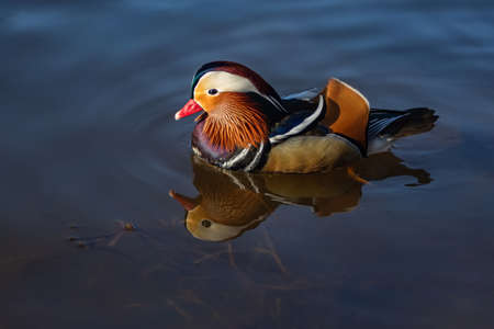 Close up portrait of a colorful male mandarin duck swimming in a river on a bright sunny day. Reflection of the bird and its vivid colors in the dark water.