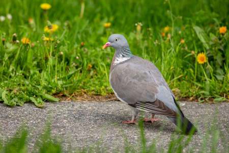 A gray wood pigeon standing on the pavement in a park with green grass and yellow flowers in the backround. Spring day in a city.