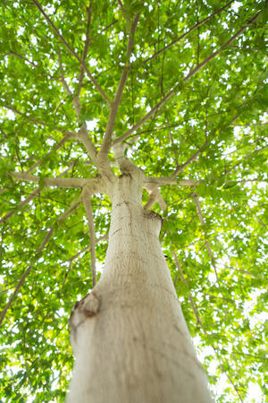luxuriant: a straight tree with luxuriant branches and leaves.