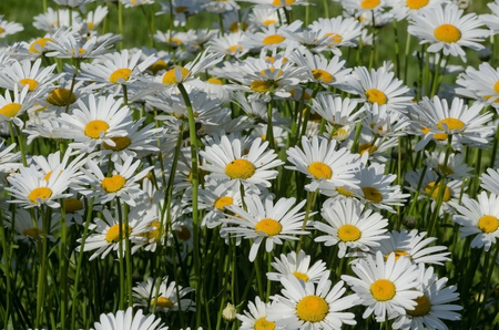 without people: beautiful fresh daisies in a field without people