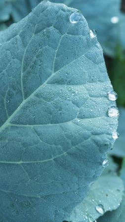 kropla deszczu: Texture background of backlight fresh green leaf close up,rain drop