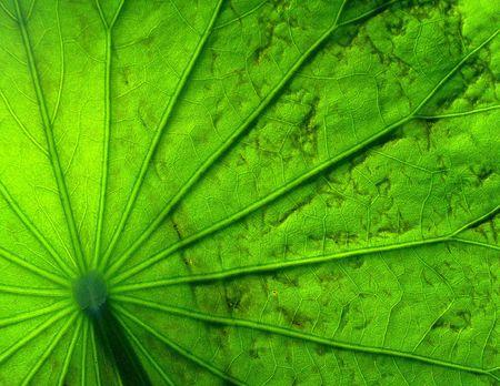 Pattern of lotus leaf. Stock Photo