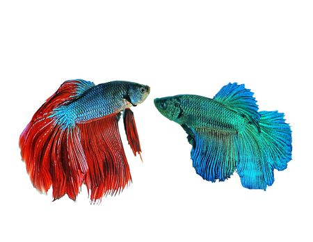 Fighting fish with beautiful colors.