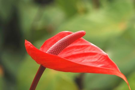 Anthurium flowers.of Thailand Stock Photo