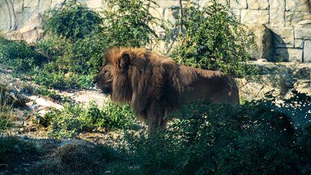 Lion-king in Zoo. Safari park