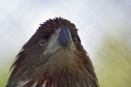 golden eagle, a close up