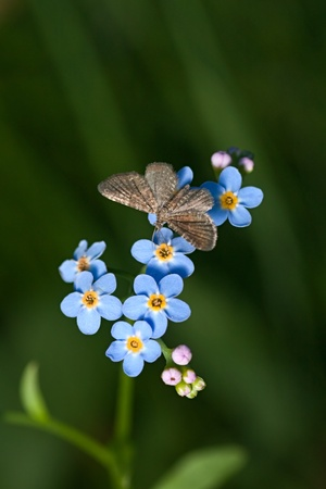 Closeup of blue flowers forget-me-not (Myosotis sylvatica) and butterfly (Geometridae)