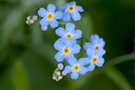Closeup of blue flowers  forget-me-not (Myosotis sylvatica) Stock Photo