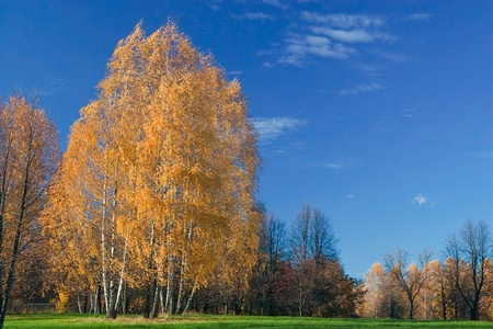 bark:  Birches shed leaves, on a background of the  blue sky  Stock Photo