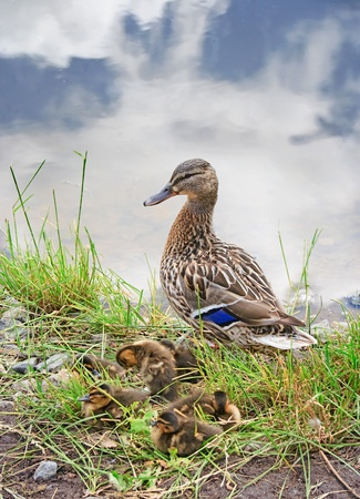 Duck with ducklings on a coast of a pond