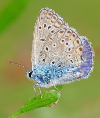 Common blue ( Polyommatus icarus ) butterfly