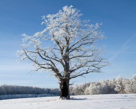 winter oak in hoarfrost, on a background of the blue sky photo
