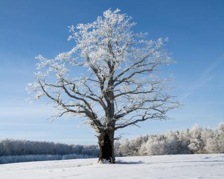 winter oak in hoarfrost, on a background of the blue sky