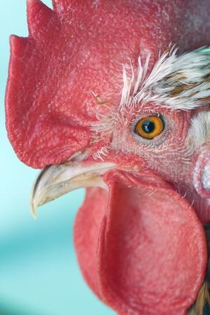 cockerel: testa di gallo vicino