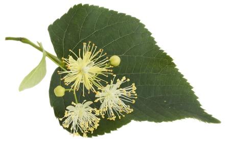 tilo: Las flores de tilo, sobre un fondo blanco