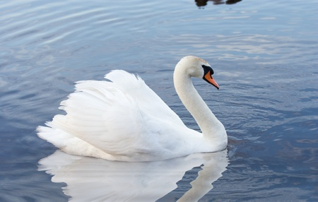 white  swan swimming in water