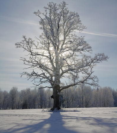 winter oak in hoarfrost, on a background of the sky, in the backlight of the sun photo