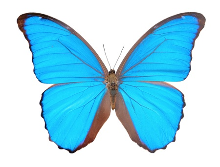 Morpho  butterfly(Morpho didius), a blue butterfly from South America on white background.