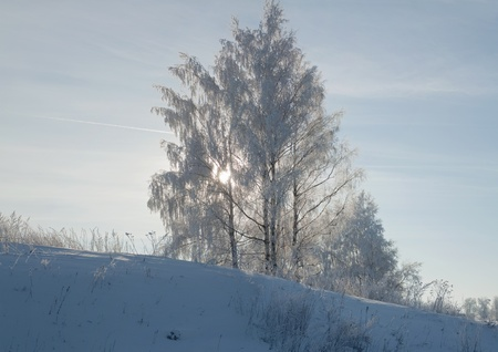 birchs in hoarfrost, on a background of the sky, in the backlight of the sun photo