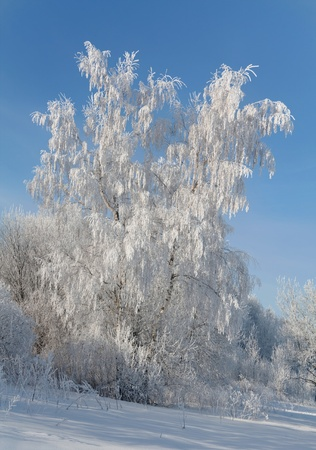 birchs in hoarfrost, on a background of the sky. photo