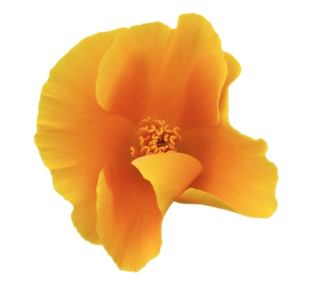 Side view of a bright orange california poppy (Eschscholtzia gen.).