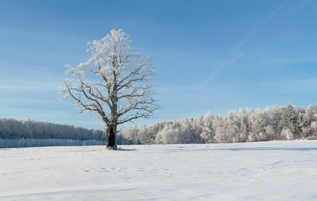 winter oak in hoarfrost, on a background of the blue sky. photo