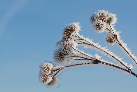 Frozen winter bur.