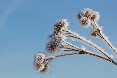 Frozen winter bur.