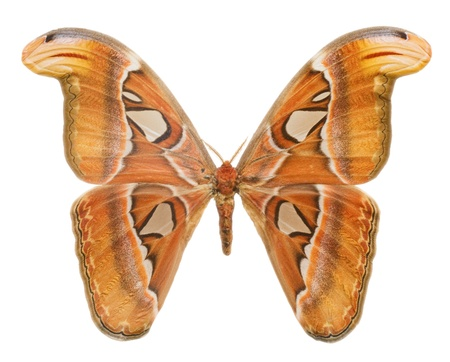 Macro o Attacus Atlas, largest butterfly in the world, white background