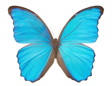 Morpho  butterfly(Morpho didius), a blue butterfly from South America on white background. photo