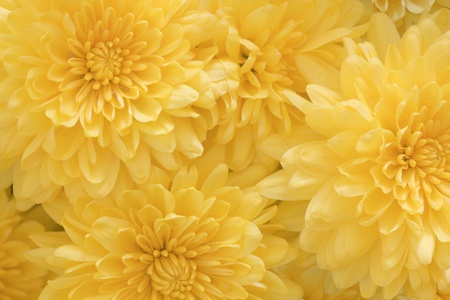 chrysanthemums yellow background Stock Photo