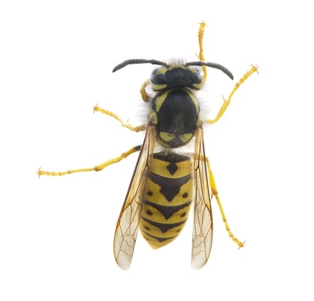 Macro shot  Yellowjacket Wasp (Vespula maculifrons) isolated on white.