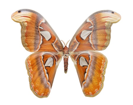 biggest: Macro o Attacus Atlas, largest butterfly in the world, white background