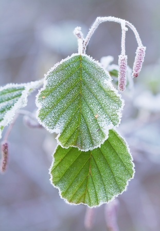 crystals of hoar frost on leaves.