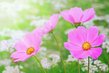 Pink cosmos flowers  on a background of green grass Stock Photo