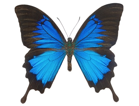 Blue Ulysses Butterfly  Papilio ulysses  on white background