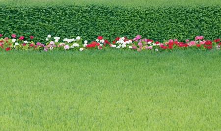 Neatly trimmed lawn, and colorful flowers Pelargonium to hedgerow photo
