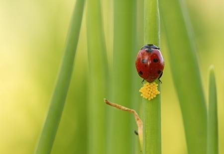 ladybug lays eggs