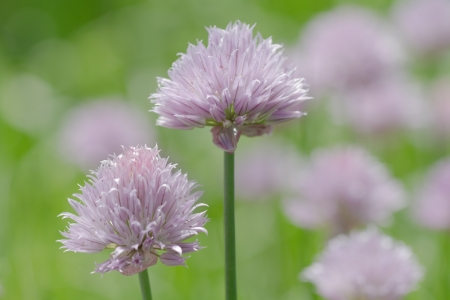 Purple Allium blossom in front of green background, with another blurry blossom in the background. Stock Photo