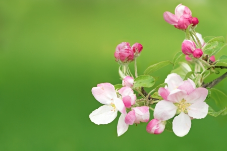 branch of apple blossoms