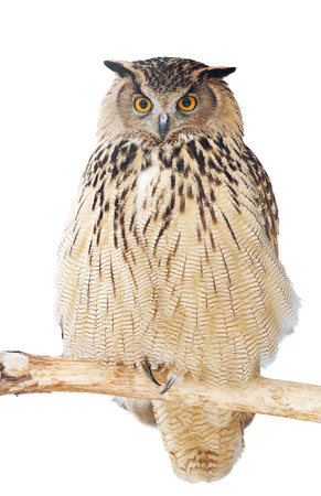 tawny owl: close up of an eagle-owl looking straight at the camera,  isolated on a white
