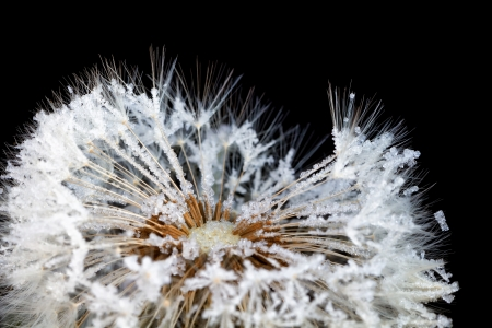 dandelion in rime, isolated on black  photo
